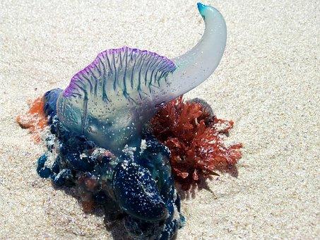 Bluebottle, Portuguese Man O' War, Seaside, Ocean