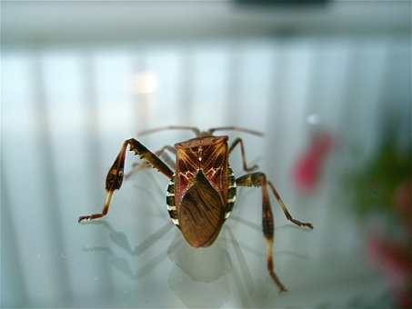 Western Conifer Seed Bug, Insect, Illinois