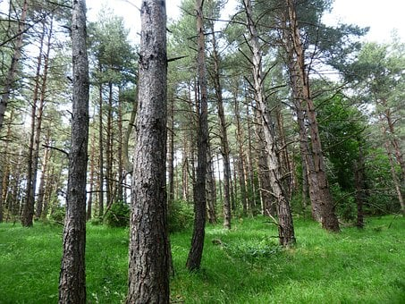 Pine Forest, Forest, Trees, Forest Glade, Pine, Forlen