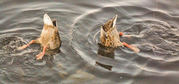 Ducks, Rump, Waterfowl, Water, Poultry, All My Duckling