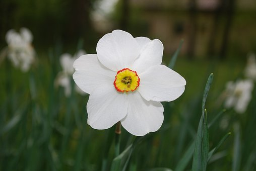 Daffodil, Flower, Blossom, Wild Flower, Floral, Summer