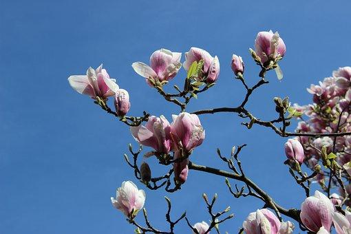 Magnolia Blossom, Tulip Magnolia, Branch, Spring