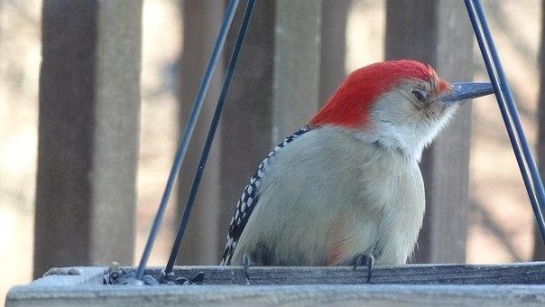 Woodpecker, Nature, Bird Feeder, Female, Wildlife