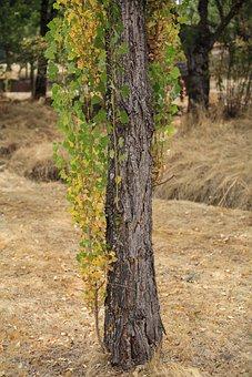 Tree, El Escorial, Lavirian