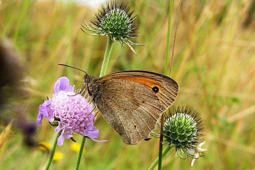 Butterfly, Meadow Brown, Meadow Widow Herb