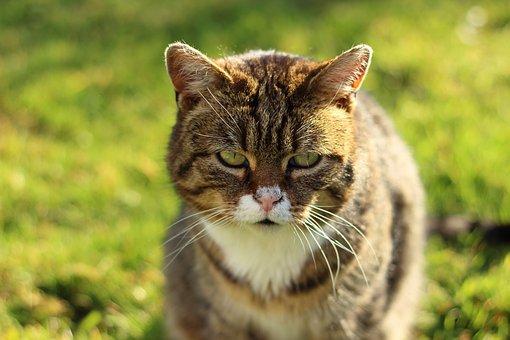 Cat, Domestic Cat, View, Face, Sun, Light, Mackerel