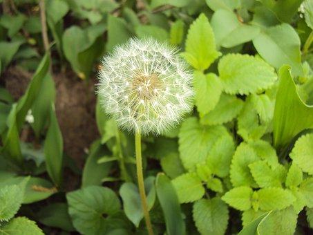 Dandelion, Blowball, Flower, Seeds, Fluffy, Weed