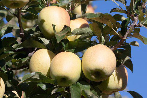Apple, Tree, Fruits, Ripe, Autumn, South Tyrol