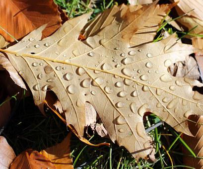 Oak, Leaf, Rain, Drops, Nature, Forest, Season, Autumn