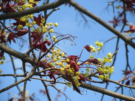 Acer Platanoides, Norway Maple, Tree, Blossom, Macro