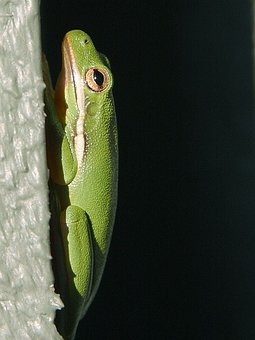 Frog, Green, Tree Frog, Tree, Perpendicular, Climb