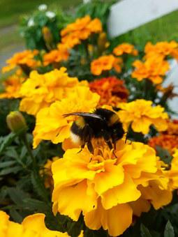 Bumble-bee, Flower, Garden, Nature, Insect
