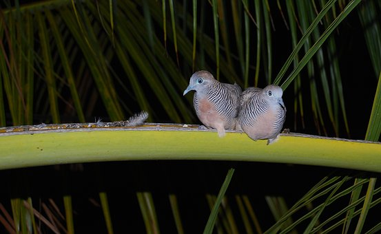 Zebra Dove, Animal, Couple, Love, Dove, Mauritius