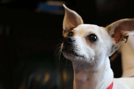 Chihuahua, Puppy, Dog, Pet, Animal