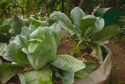 Cabbage, Garden, Fresh, Organic, Growing, Harvest
