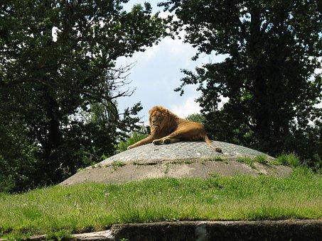 Lion, Zoo, Wild Animals, Zoological Garden, Catwalk