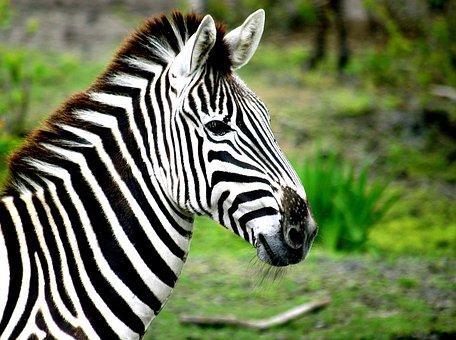 Zebra, Stripes, Black, White, Mammal, Wildlife, Animal