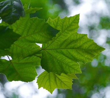 Acer Mono, Itaya-kaede, Maple, Kaede, Aceraceae