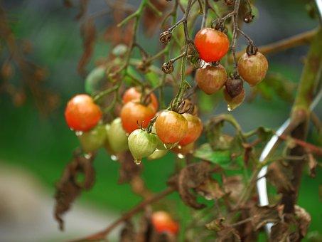 Tomato, Garden, Vegetables, Healthy, Nutrition, Eat
