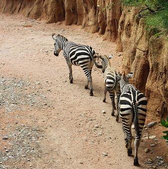 Zebras, Zebra, Strips, Row, Nature, Animal, Animals