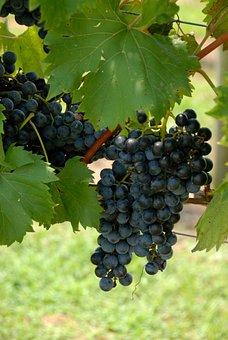 Grapes, Vineyard, Vine, Winery, Agriculture, Rural