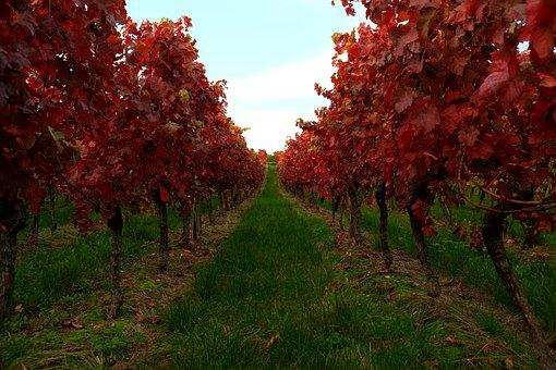 Vines, Vine Leaves, Vine, Winegrowing, Autumn
