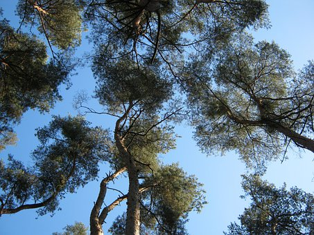 Forest, Nature, Trees, Crowns, Perspective, View, Pine