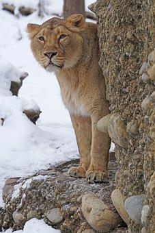 Lion, Female, Indian, Predator, Big Cat, Snow, Winter