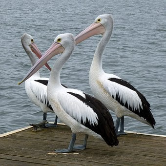 Pelicans, Australian Pelican, Pelican