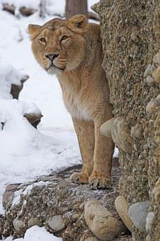 Lion, Female, Indian, Predator, Big Cat, Snow, Winter