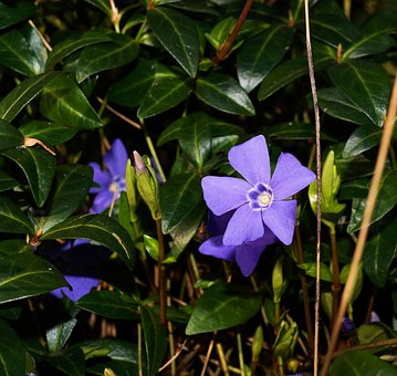 Blue, Periwinkle, Vinca Minor, Ground Cover, Plant