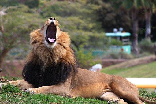 Lion, Animal, Wild, Cat, Roar