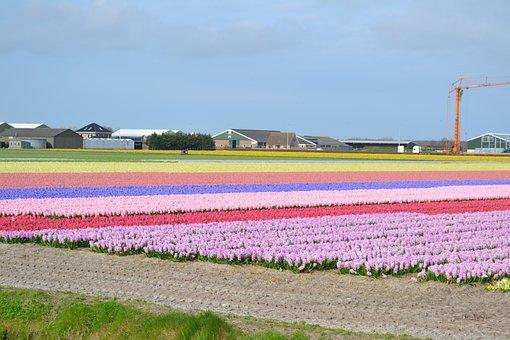 Dutch, Bulb, Blooming, Flower, Amsterdam, Spring
