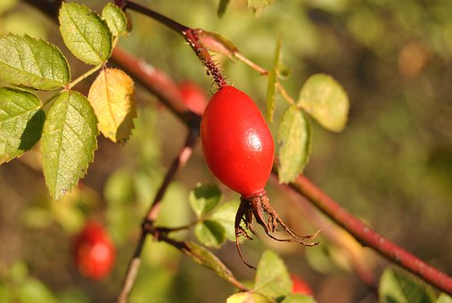 Thornbush, Autumn, Fruit, Red