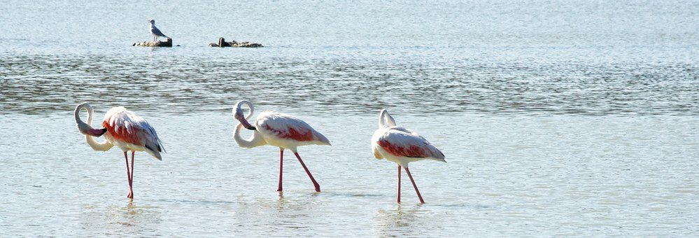 Pink Flemish, Bird, Feathers, Neck, Beak, Nature, Calpe