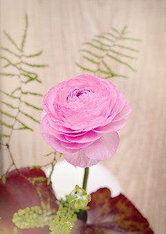 Ranunculus, Flower, Blossom, Bloom, Pink, Pink Flower