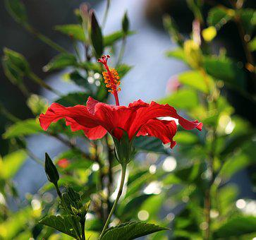 Flower, Hibiscus, Tropical, Bloom, Red