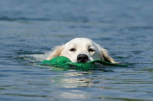 Golden Retriever, Dog Retrieves, Dog In The Water