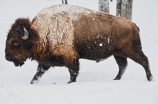 Bison, Winter, Wild, Animal, Nature, Wildlife, Snow