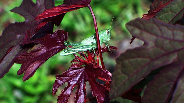 Grasshopper, Insect, Red, Maple, Hibiscus, Bug