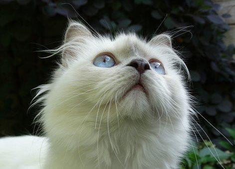 Cat, Ragdoll, Breed Of Cat, Blue Eyes, Fuffy, White Fur