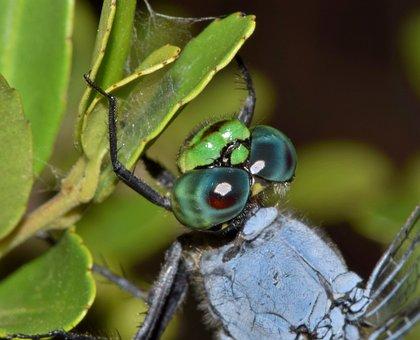 Dragonfly, Pondhawk, Eastern Pondhawk, Insect, Bug