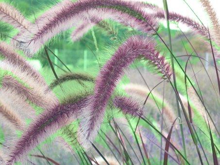 Cherry Sparkler Fountain Grass