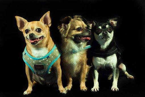 Dogs, Calhoun, Three, Small Dog Breeds, Chihuahua