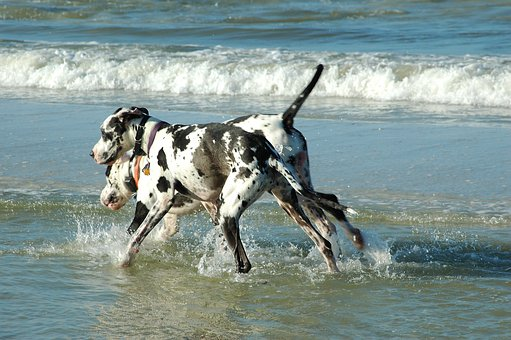 Great Danes, Dogs, Playing, Surf, Ocean, Water, Pet