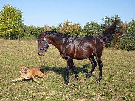 Horse, Standard, Pure Arab Blood, Horse Breeding, Dog
