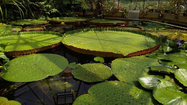 Jardin Des Plantes, Budapest, Float, Lotus, Victoria