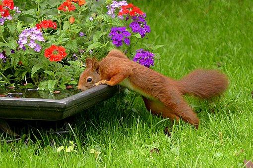 Squirrel, Sciurus Vulgaris Major, Mammal, Drink, Garden
