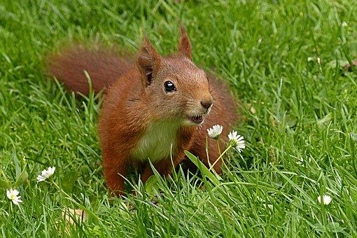Squirrel, Sciurus Vulgaris Major, Mammal, Young