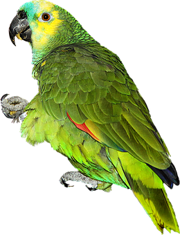 Parrot, Amazon Blue Forehead, Bird, Colors, Png
